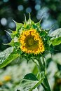 Opening bud of bright sunflower in the center of the frame with blurred bokeh. Royalty Free Stock Photo