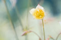 Opening flower of Aquilegia. Gentle refined image. Soft focus Royalty Free Stock Photo