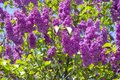 Lilac or elder bush Royalty Free Stock Photo