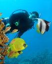Operatore subacqueo e butterflyfishes Immagine Stock