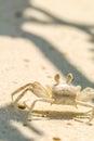 Opinião próxima o caranguejo no sandy beach em maldives Imagens de Stock Royalty Free