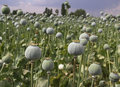 Opium field in afyon turkey Royalty Free Stock Images