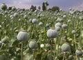 Opium Field Royalty Free Stock Photo