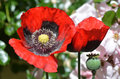 Opium flower Royalty Free Stock Photography