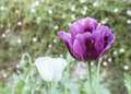 Opium is a narcotic in garden Stock Photos