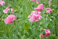 Opium poppies in a field Stock Image