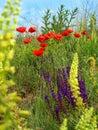 Opium poppy Royalty Free Stock Photo