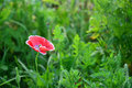 Opium poppy a blooming in field Royalty Free Stock Photography