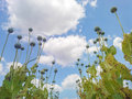 Opium poppy capsules papaver somniferum seed heads shot from below against beautiful cloudy sky Royalty Free Stock Photo