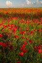 Opium poppy a field of with blue background Royalty Free Stock Images