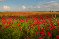 Opium poppy a field of with blue background Stock Photos