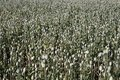 Opium poppy field large of the immature Stock Image