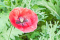 Opium poppy flower in garden Royalty Free Stock Image
