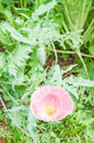 Opium poppy flower in garden Royalty Free Stock Photography