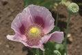 Opium poppy flower papaver somniferum in the field close up Stock Image