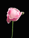 Opium poppy pink flower on black background Royalty Free Stock Images