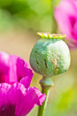 Opium poppy it s kind of narcotic and not allowed to plant Royalty Free Stock Image