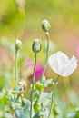 Opium poppy it s kind of narcotic and not allowed to plant Stock Images