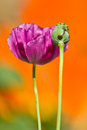 Opium poppy it s kind of narcotic and not allowed to plant Royalty Free Stock Photos
