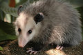 Opossum full body Royalty Free Stock Photo
