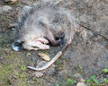 Opossum Playing Dead Royalty Free Stock Photo