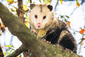 Opossum on a tree branch Royalty Free Stock Photo