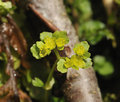 Opposite-leaved Golden-saxifrage Stock Images