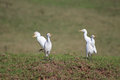 Opposition party concept with two pairs of egrets Royalty Free Stock Photos