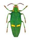 Opulent jewel beetle Royalty Free Stock Photo
