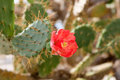 Opuntia bloom red flower on a sunny day Royalty Free Stock Photos