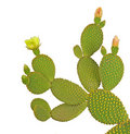 Opuntia cactus Royalty Free Stock Photos