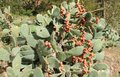 Opuntia cactus Royalty Free Stock Photo