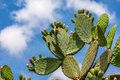 Opuntia cactus against blue sky green flat rounded cladodes of with buds with white clouds in israel Stock Photo