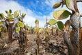 Opuntia cactus foreat at galapagos island view of an area with of santa cruz Royalty Free Stock Image