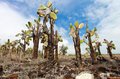 Opuntia cactus forest Royalty Free Stock Photo