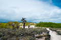 Opuntia cactus forest view of an area with at galapagos island of santa cruz Royalty Free Stock Photo