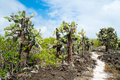 Opuntia cactus forest view of an area with at galapagos island of santa cruz Royalty Free Stock Images