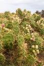 Opuntia cactus in fuerteventura canary islands spain Royalty Free Stock Image