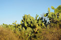 Opuntia cactus huge in the natural ground prickly pear huge green with fruits clear blue sky on the background Royalty Free Stock Image