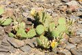Opuntia cactus on the rocky subsoil Stock Photo
