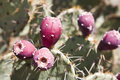 Opuntia ficus-indica Royalty Free Stock Images