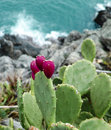 Opuntia ficus on a rock in liguria Stock Photography
