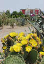 Opuntia flower in konak square izmir flowers and municipality building on background Stock Photos