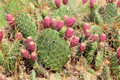 Opuntia is a genus in the cactus family cactaceae Stock Photo