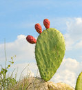 Opuntia with ripe fruits Royalty Free Stock Photos