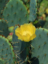 Opuntia species Royalty Free Stock Images