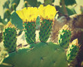 Opuntia thiсket of pricly pear ficus indica in israel retro effect Royalty Free Stock Image