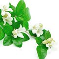 Orang jessamine white flower murraya paniculata or china box tree andaman satinwood isolated on a white background Royalty Free Stock Photos