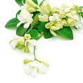 Orang jessamine white flower murraya paniculata or china box tree andaman satinwood isolated on a white background Royalty Free Stock Photography