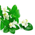 Orang jessamine white flower murraya paniculata or china box tree andaman satinwood isolated on a white background Royalty Free Stock Photo